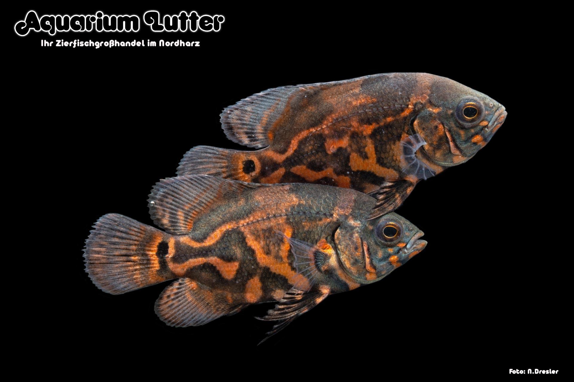 Pfauenaugenbuntbarsch Red Tiger - Astronotus ocellatus