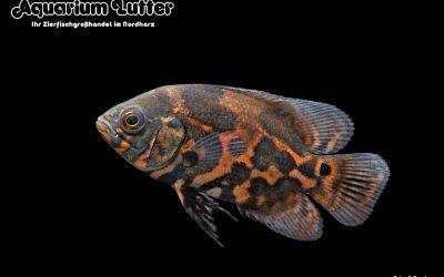 Pfauenaugenbuntbarsch Red Tiger – Astronotus ocellatus