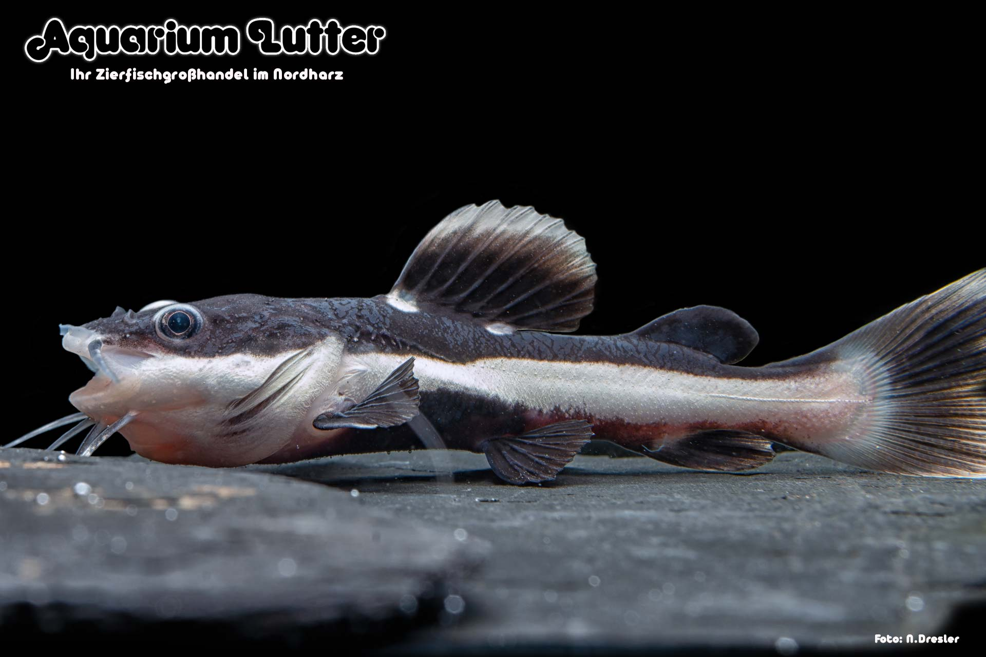 Rotflossen Antennenwels - Phractocephalus hemioliopterus-2