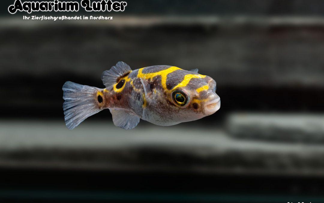Palembang Kugelfisch - Dichotomyctere biocellatus