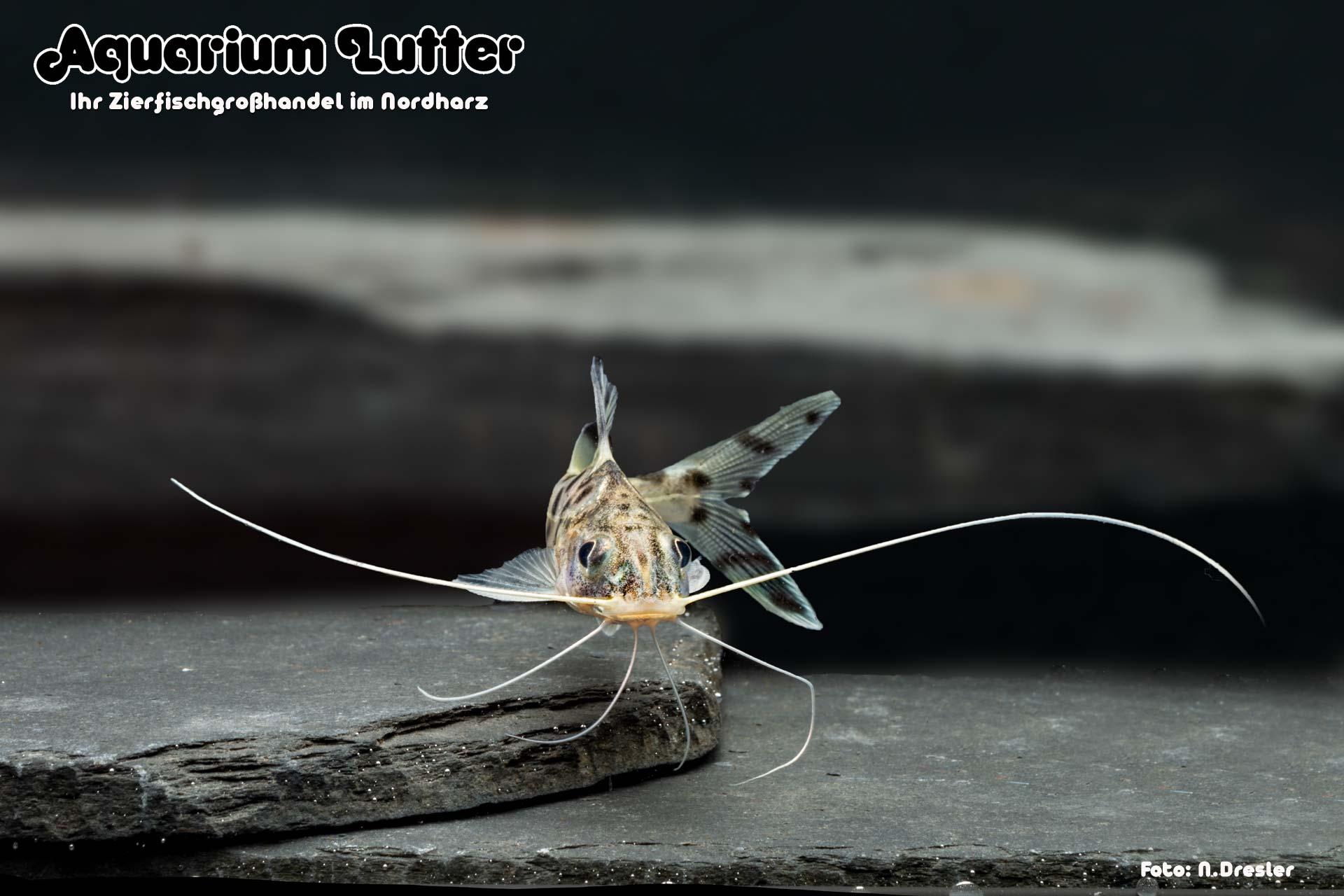 Engel Antennenwels - Pimelodus pictus