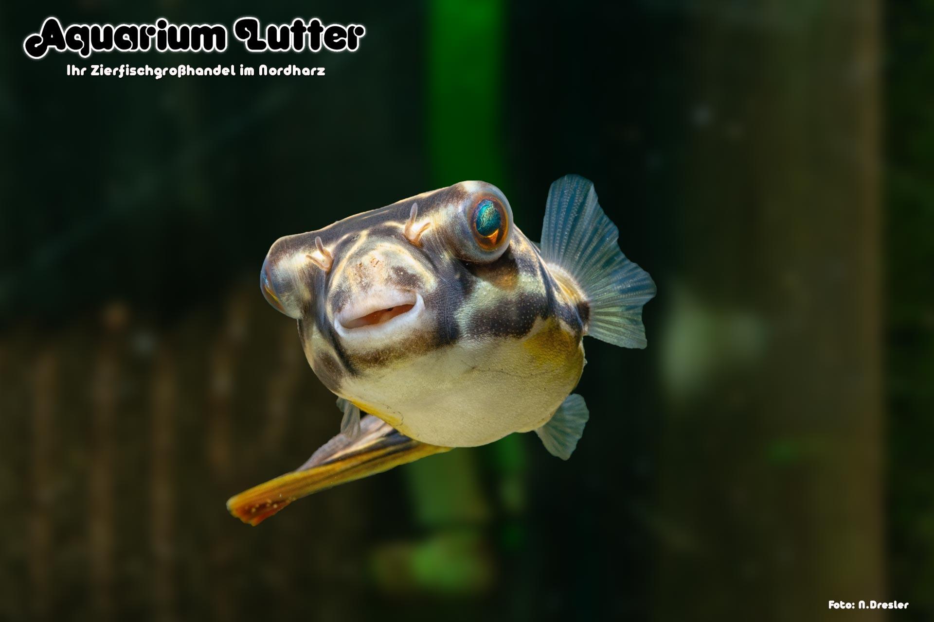 Goldringelkugelfisch - Tetraodon mbu