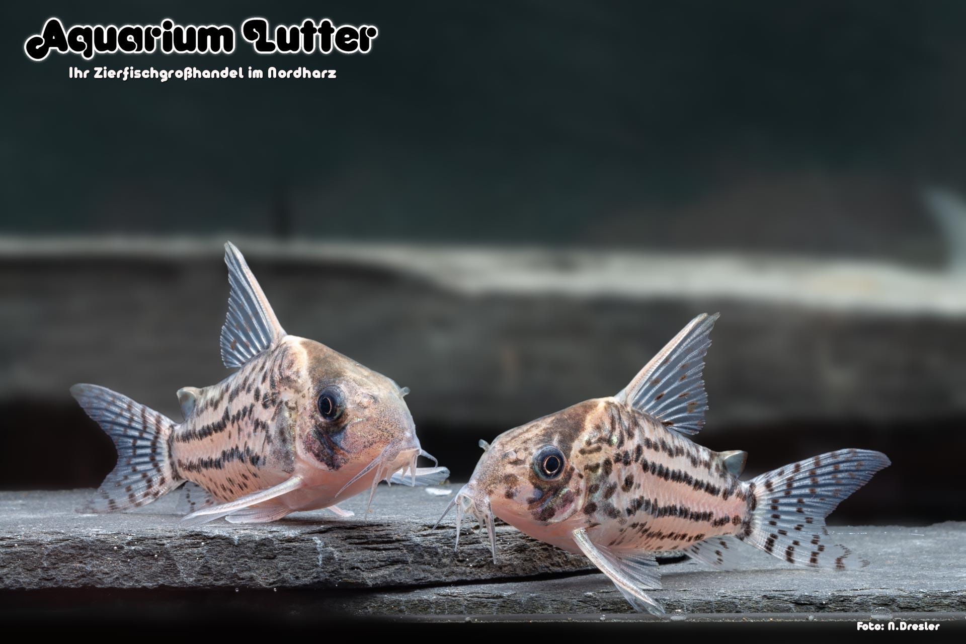 Schwartz´ Panzerwels - Corydoras schwartzi