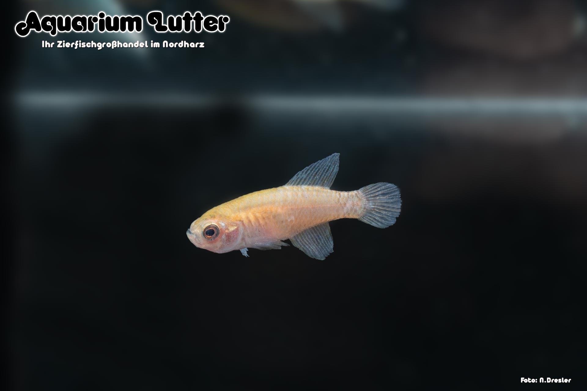 Schwarzer Fächerfisch - Austrolebias nigripinnis