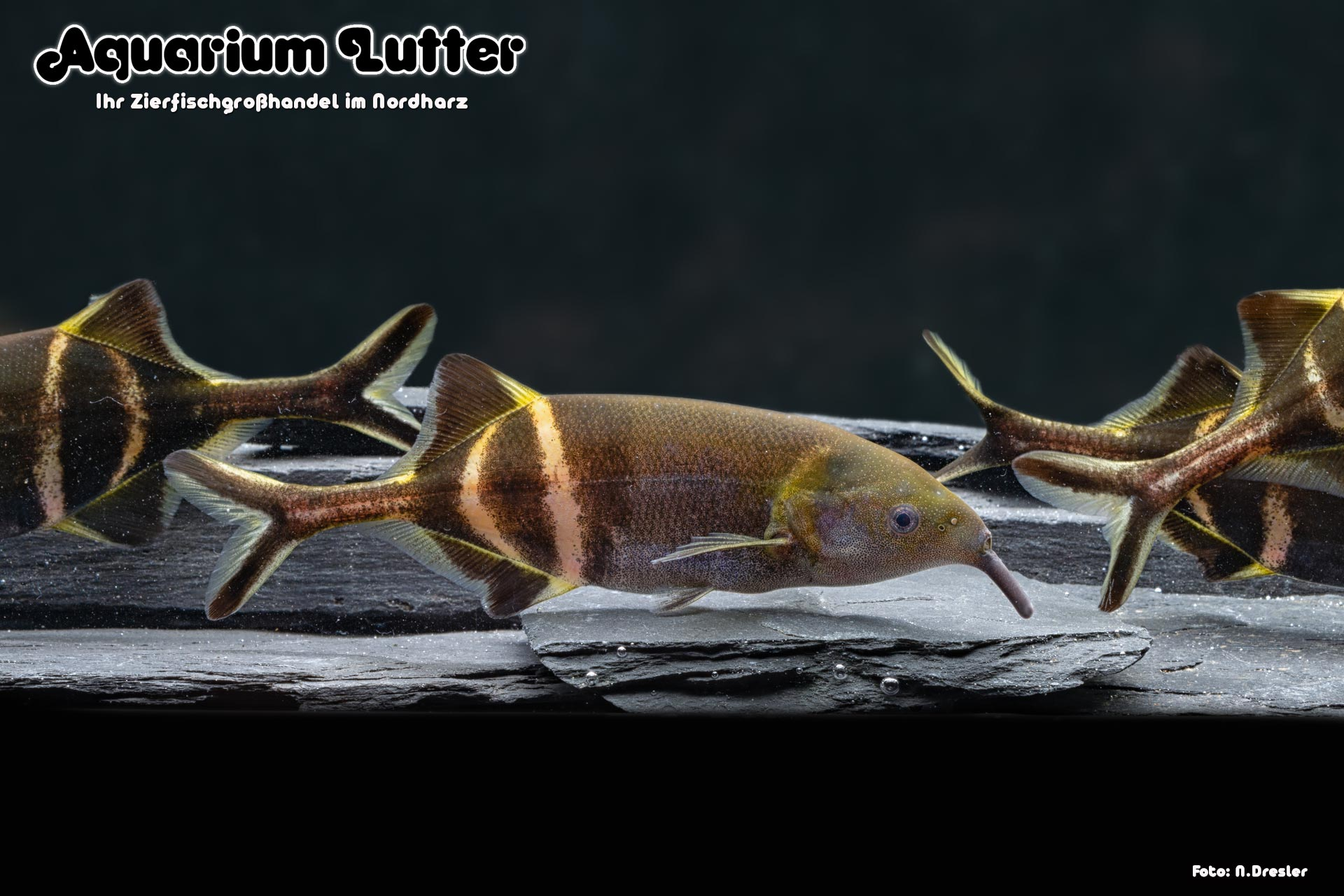 Elefanten Rüsselfisch - Gnathonemus petersii