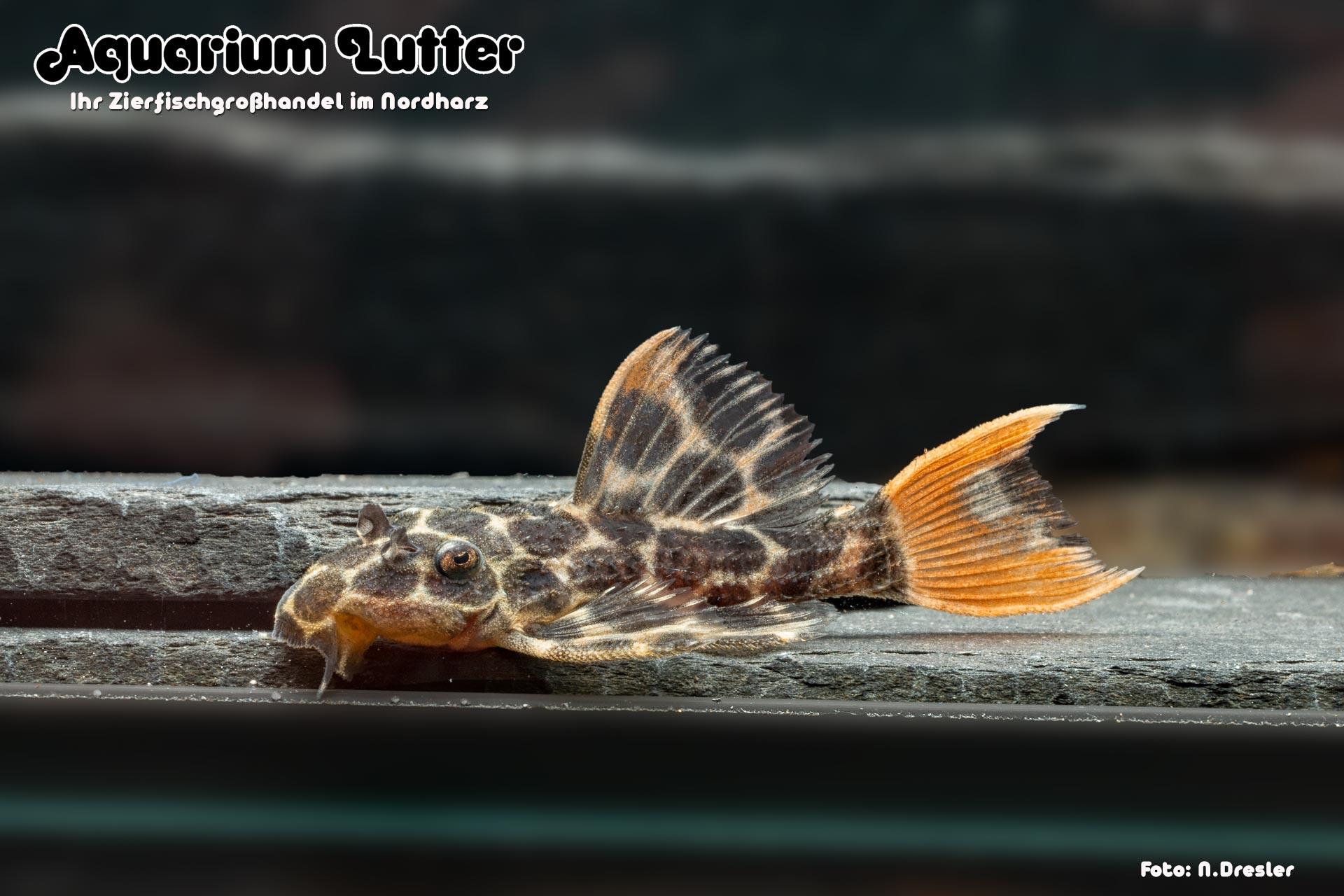 L 114 Demini Leopardkaktuswels - Pseudacanthicus sp.