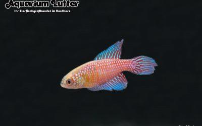 """Prächtiger Fächerfisch """"Blau"""" – Hypsolebias magnificus"""