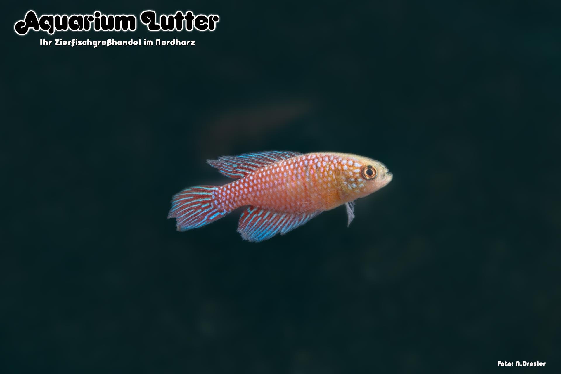 """Guanambi Fächerfisch """"Blau"""" – Simpsonichthys fulminantis"""