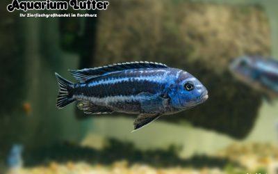 "Stahlblauer Maulbrüter – Melanochromis cyaneorhabdos ""Maingano"""