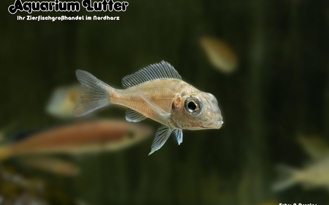 "Großaugen Sandcichlide ""Ndole Red"" – Callochromis macrops"