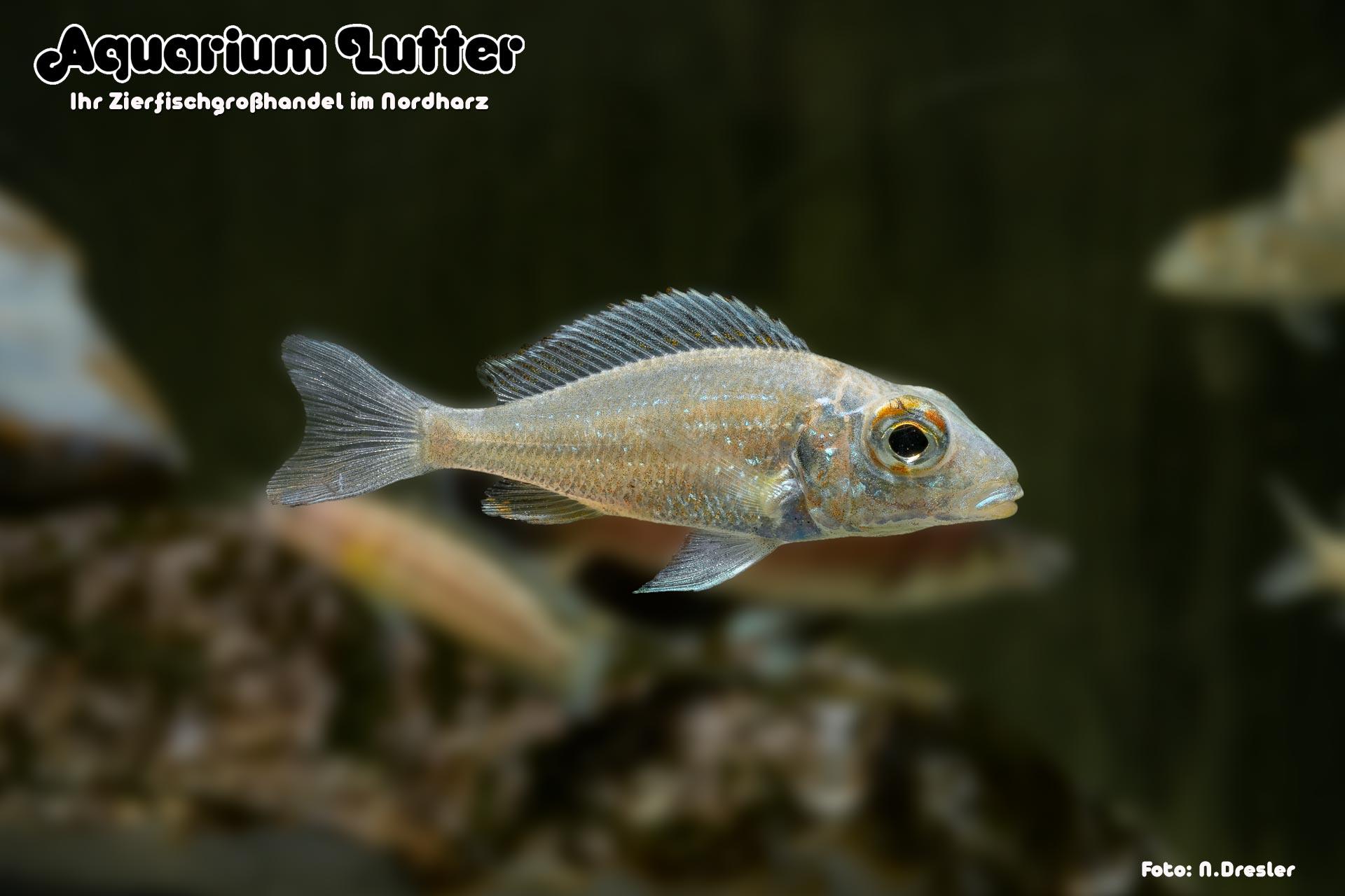 rossaugen Sandcichlide Ndole Red - Callochromis macrops