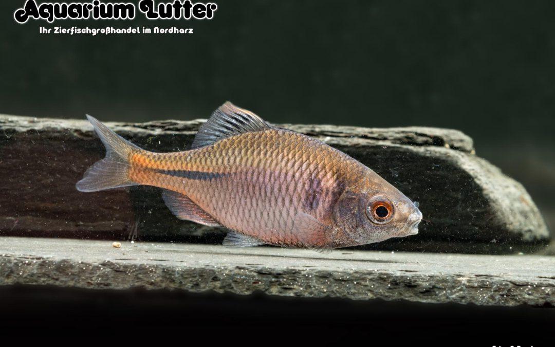 Bitterling – Rhodeus amarus