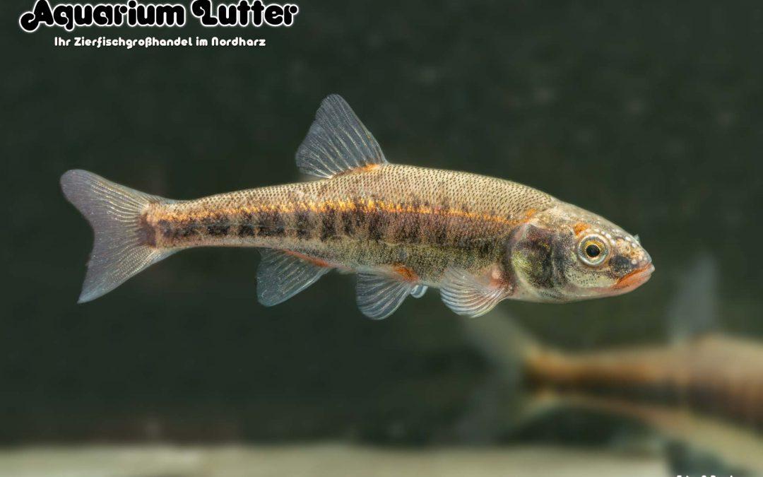 Elritze – Phoxinus phoxinus
