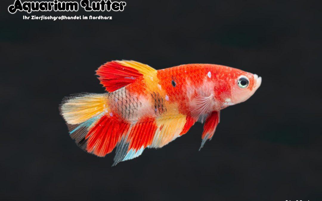"""Kampffisch Männchen Koi """"Nemo"""""""