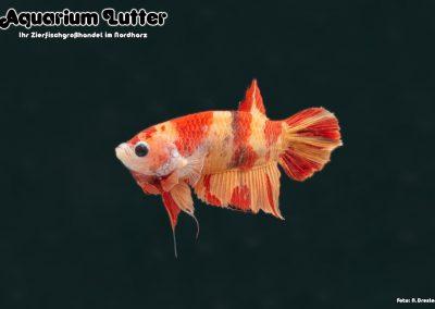 Kampffisch Männchen Koi Nemo - Betta splendens