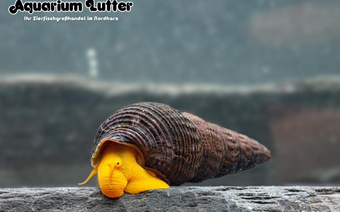Orangene Turmdeckelschnecke – Tylomelania sp.