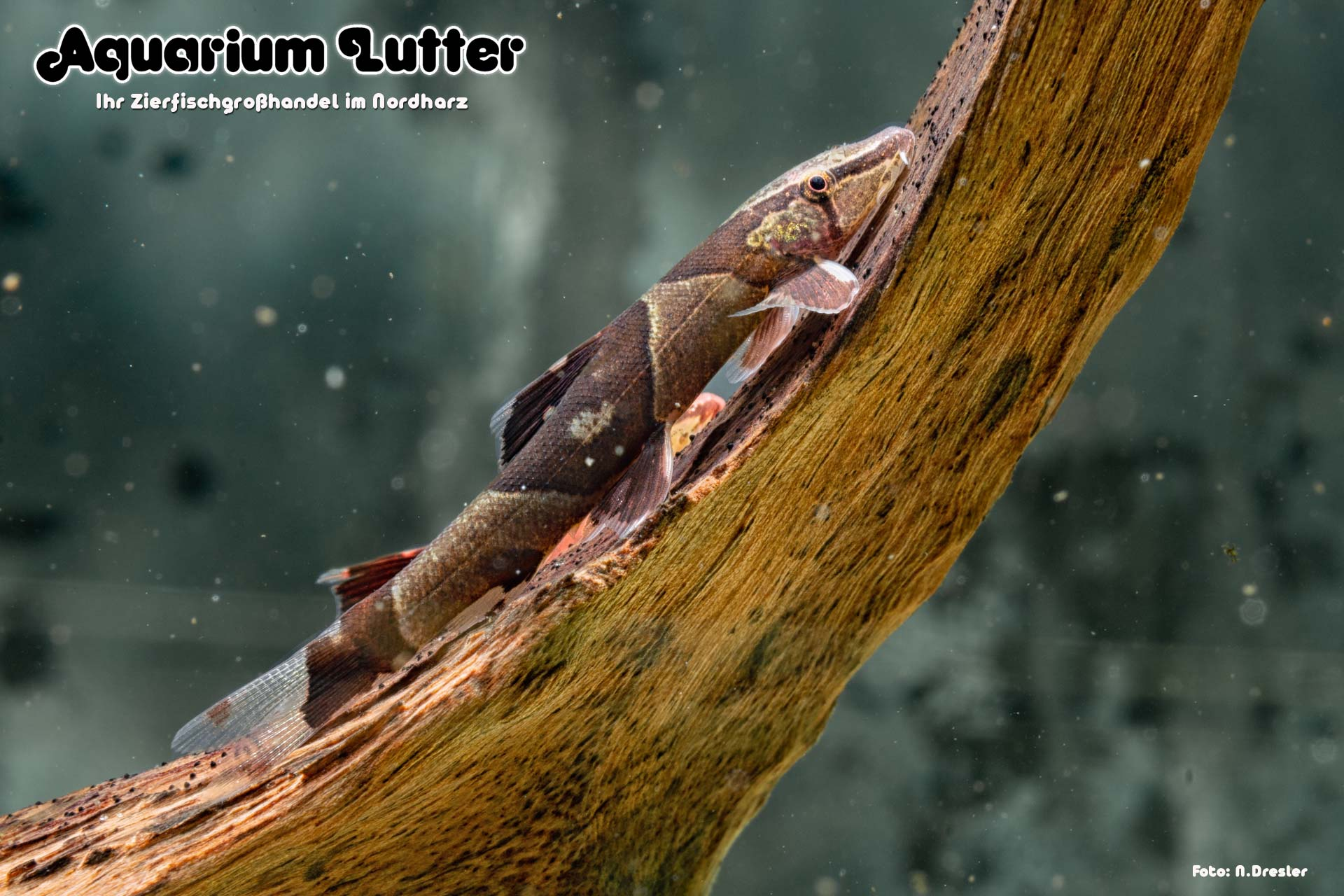 Sattelfleck Prachtflossensauger - Homaloptera parclitella