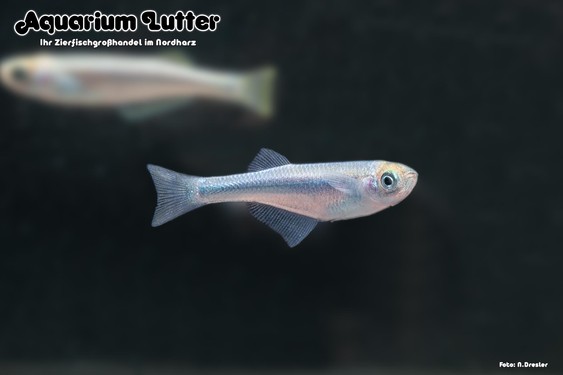 Tanganjika Leuchtaugenfisch - Lamprichthys tanganicanus