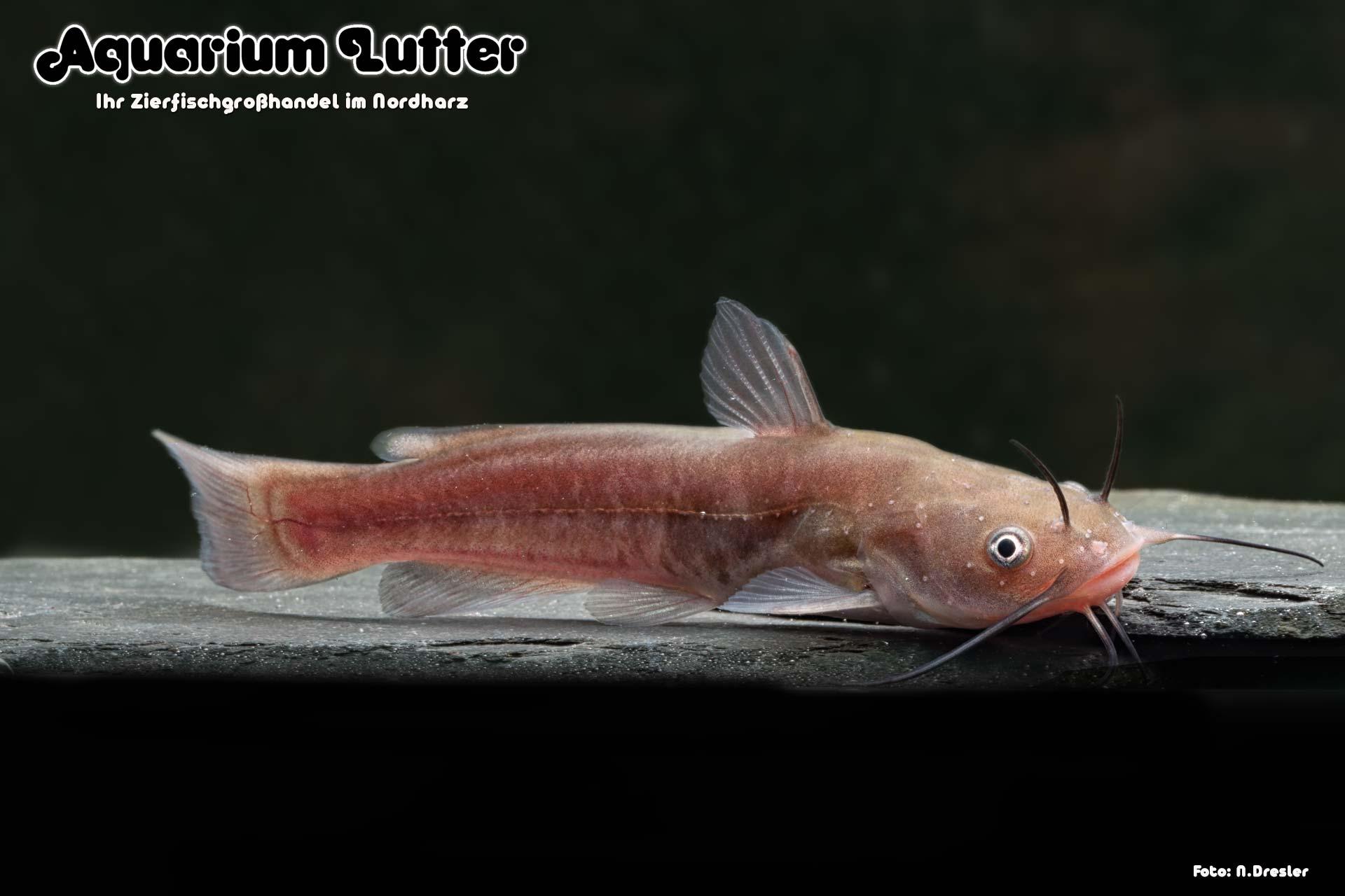Zwerg Katzenwels - Ameiurus nebulosus