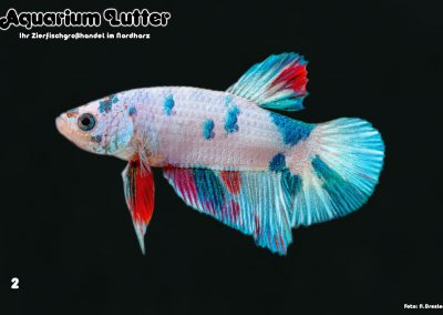 Kampffisch Männchen Fancy Dragon Halfmoon Plakat