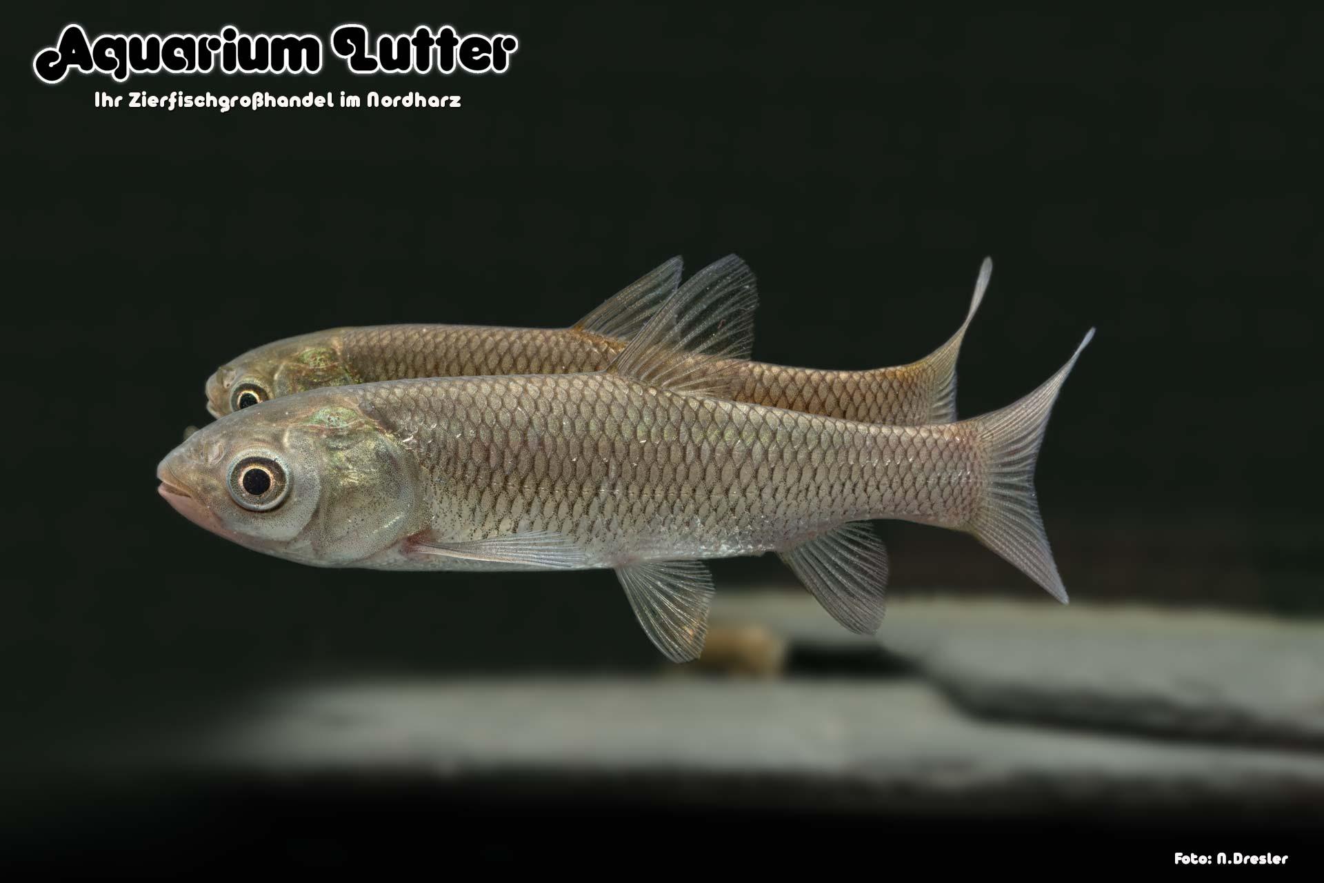 Graskarpfen - Ctenopharyngodon idella