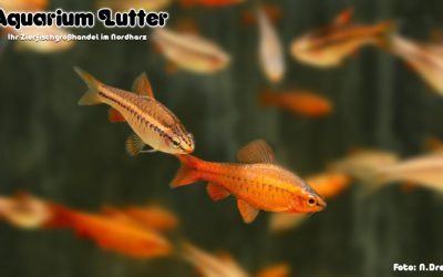 Bitterlingsbarbe – Puntius titteya