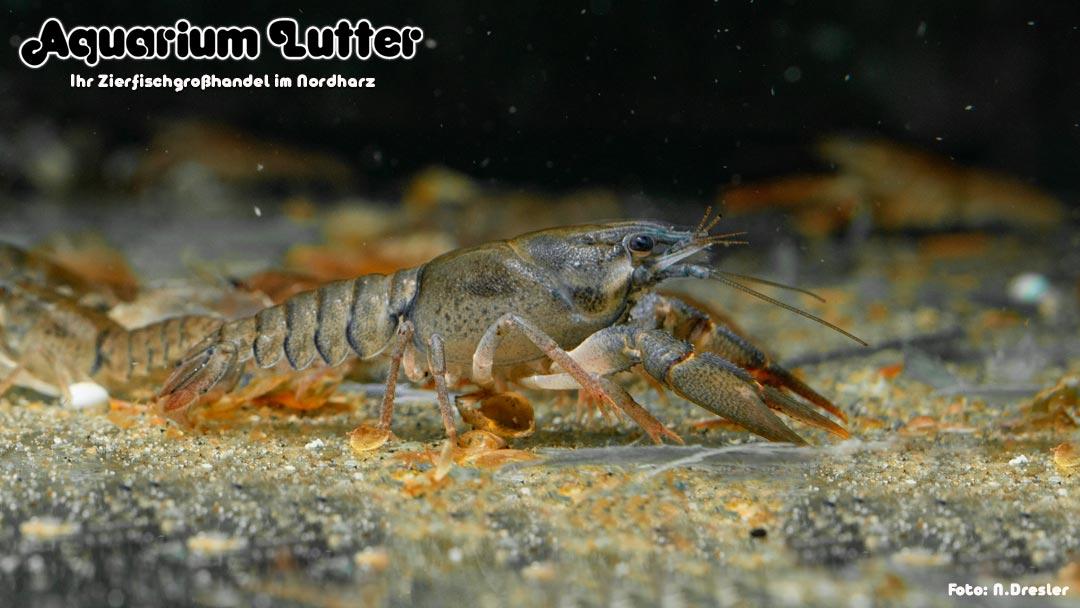 Edelkrebs - Astacus astacus