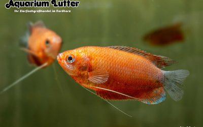 Roter Honiggurami – Trichogaster chuna