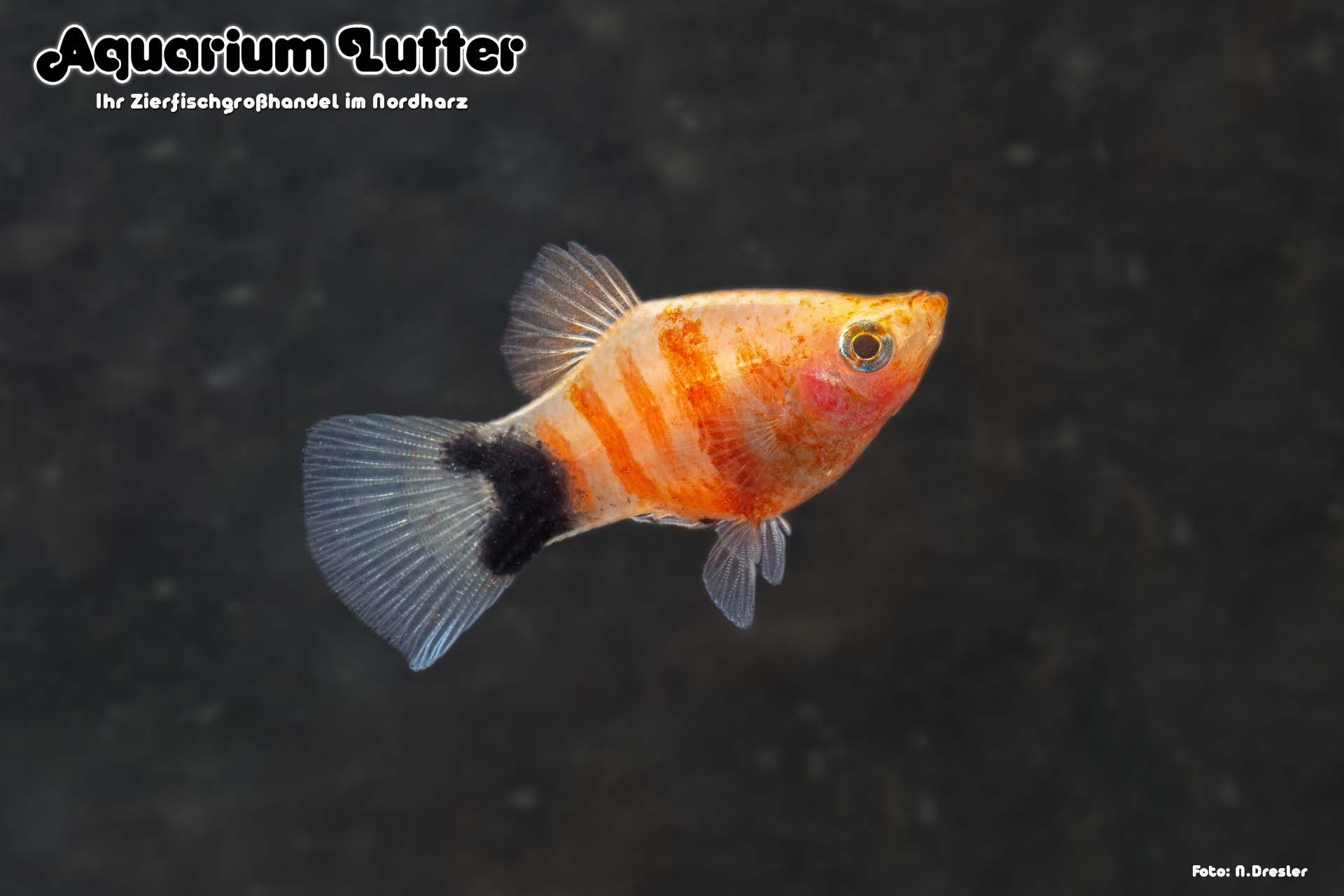 Platy Blutendes Herz - Xiphophorus maculatus