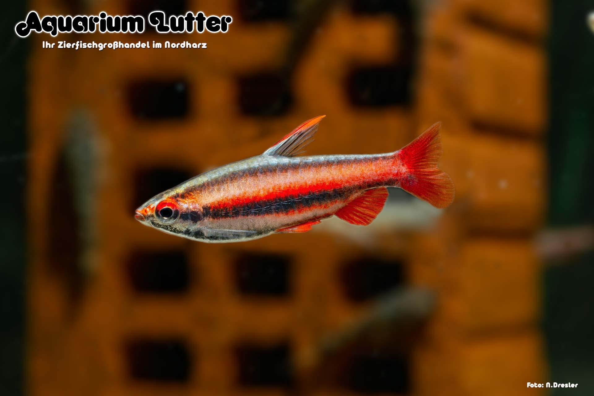 Purpur Ziersalmler - Nanostomus mortenthaleri