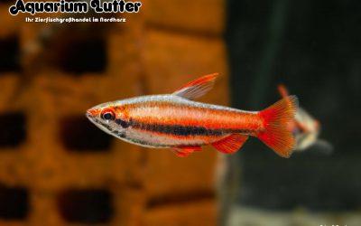 Purpur Ziersalmler – Nannostomus mortenthaleri