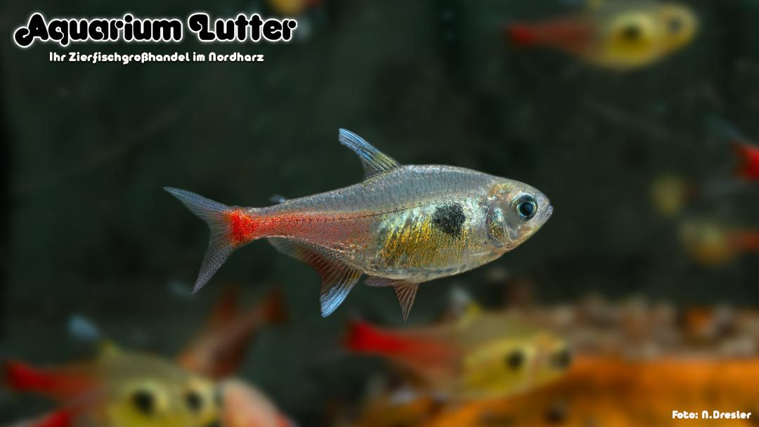 Gelber Phantomsalmler – Hyphessobrycon roseus