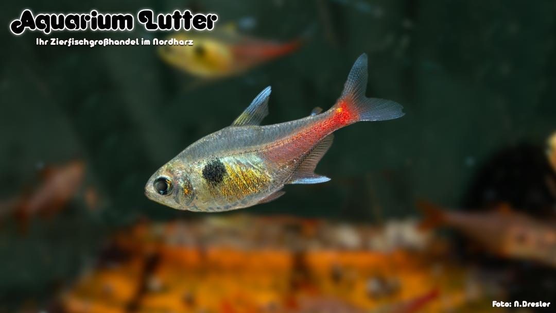 Gelber Phantomsalmler - Hyphessobrycon roseus