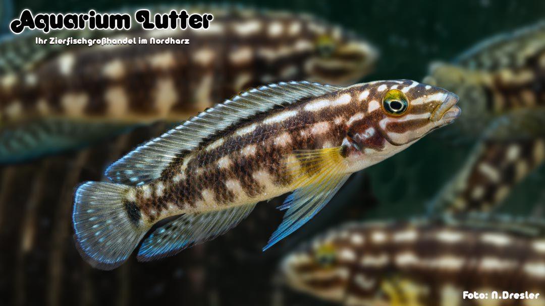 Schachbrett Schlankcichlide – Julidochromis marlieri