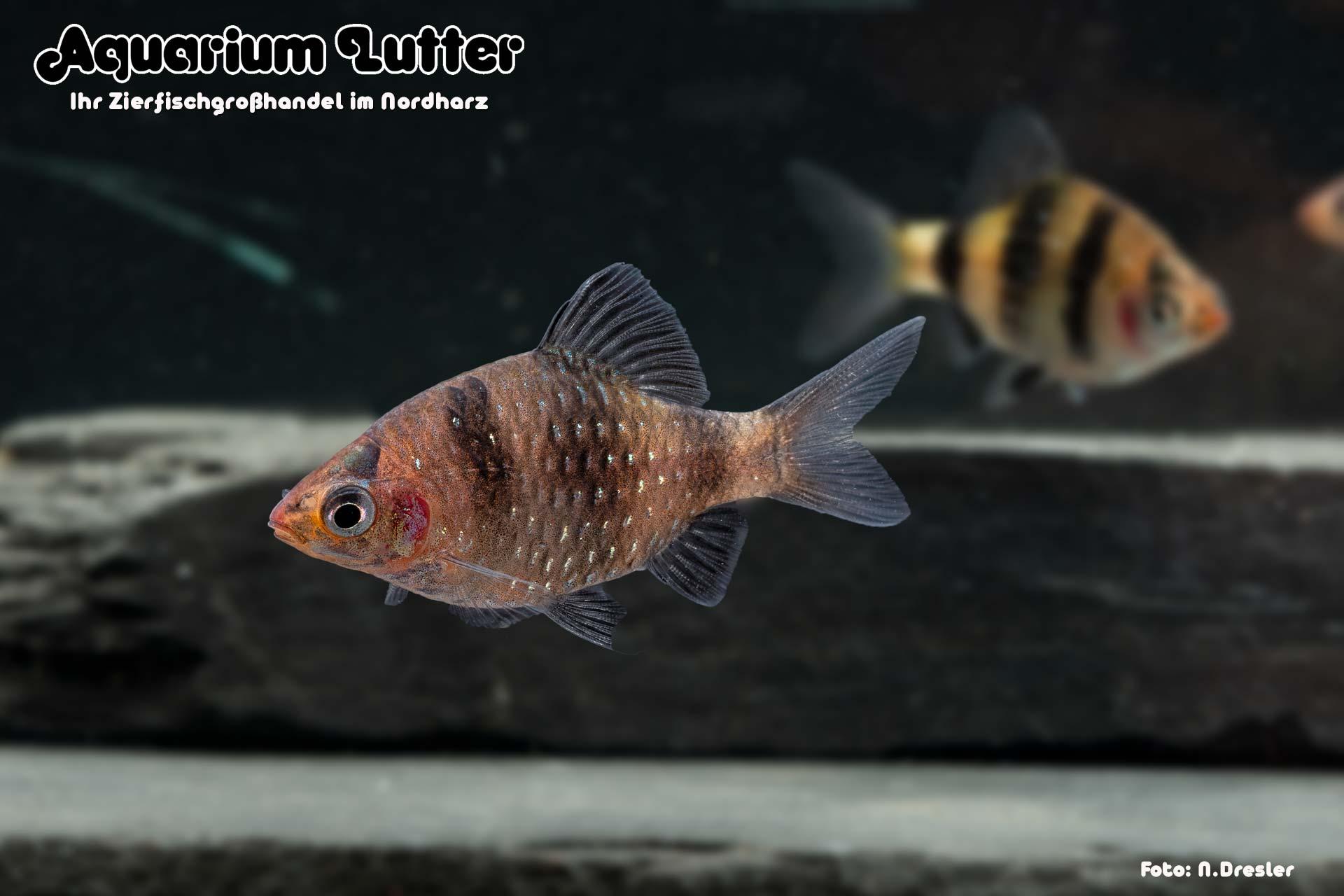 Purpurkopfbarbe - Pethia nigrofasciata