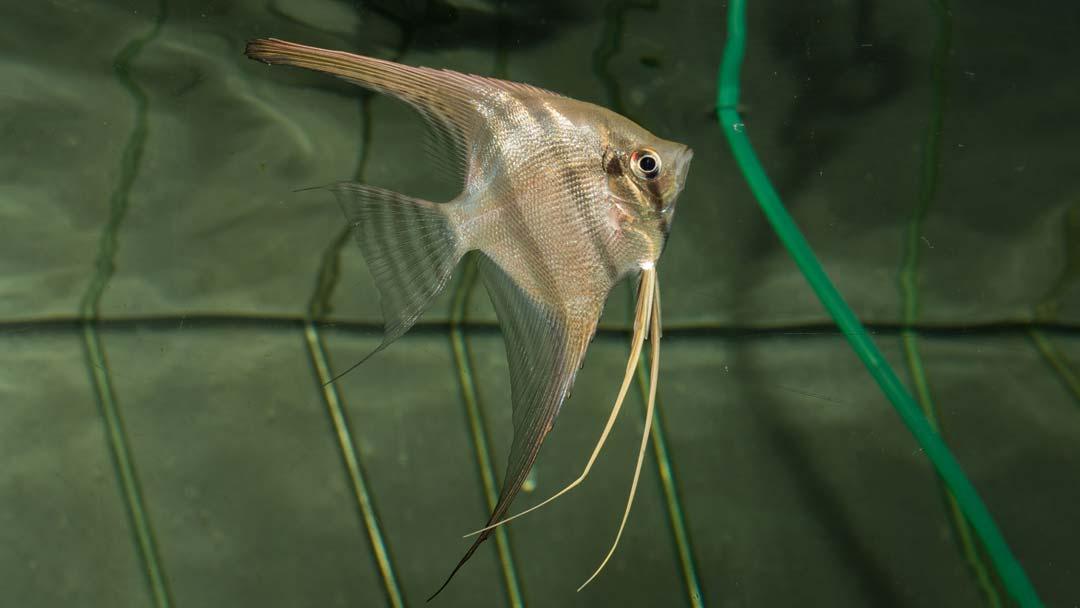 Altum-Skalar-Pterophyllum-altum