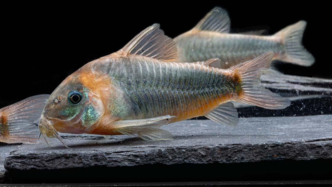 Dreieckspanzerwels-Corydoras-eques