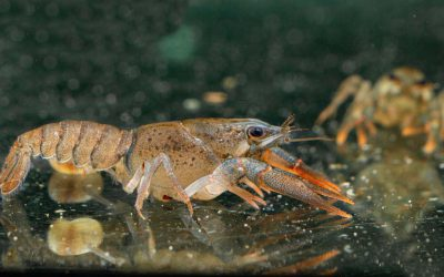 Edelkrebs – Astacus astacus