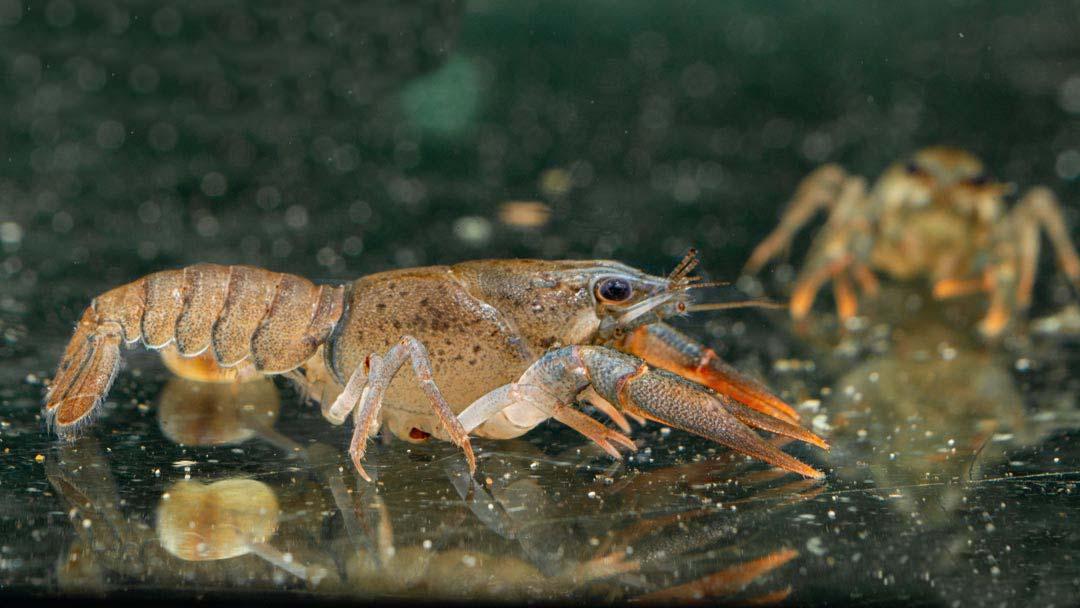 Edelkrebs-Astacus-astacus