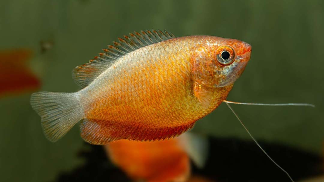 Feuerroter Honiggurami - Trichogaster chuna