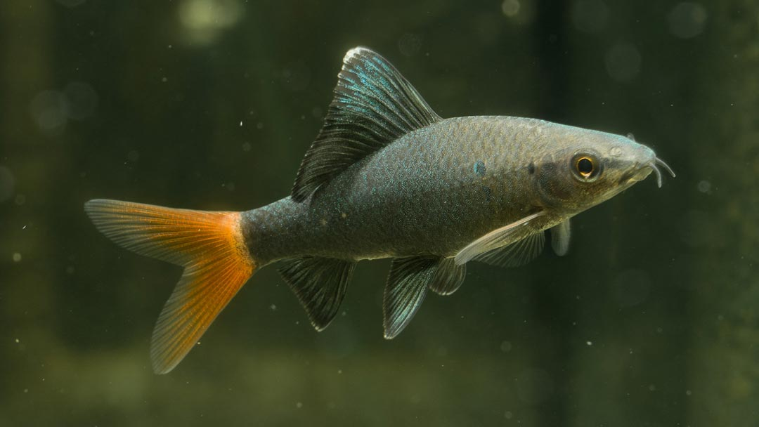 Feuerschwanz-Fransenlipper-Epalzeorhynchus-bicolor