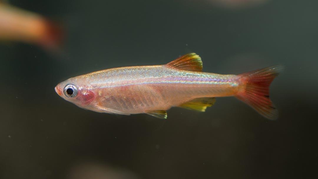 Gelber-Kardinalfisch-lutino-Tanichthys-albonubes