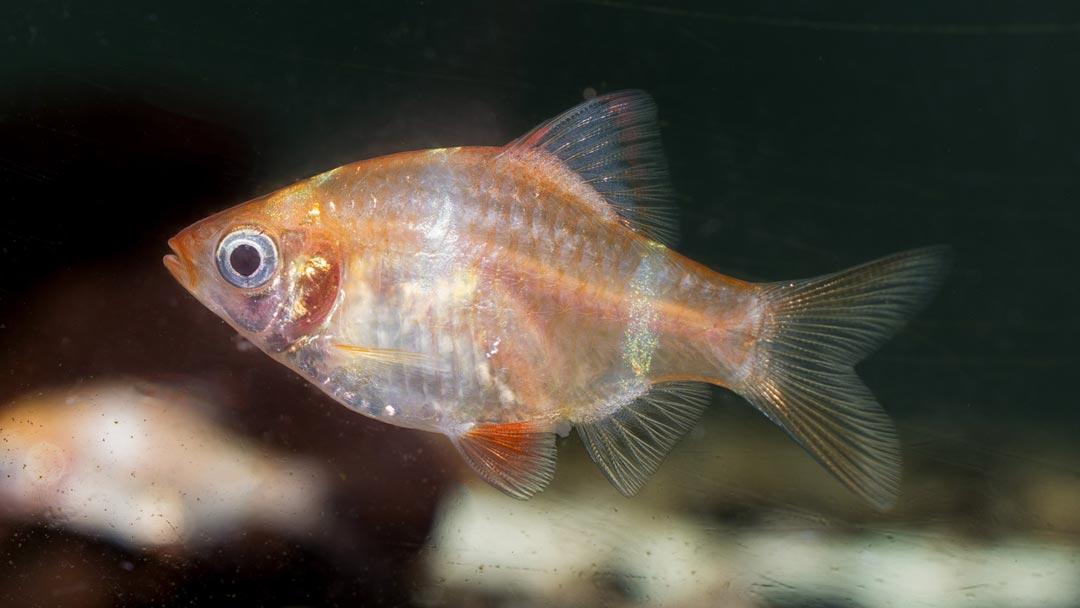 Goldene-Sumatrabarbe-Barbus-tetrazona