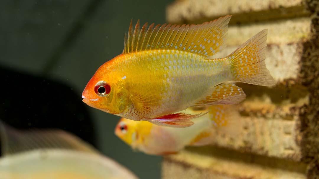 Goldener-Schmetterlingsbuntbarsch-Mikrogeophagus-ramirezi