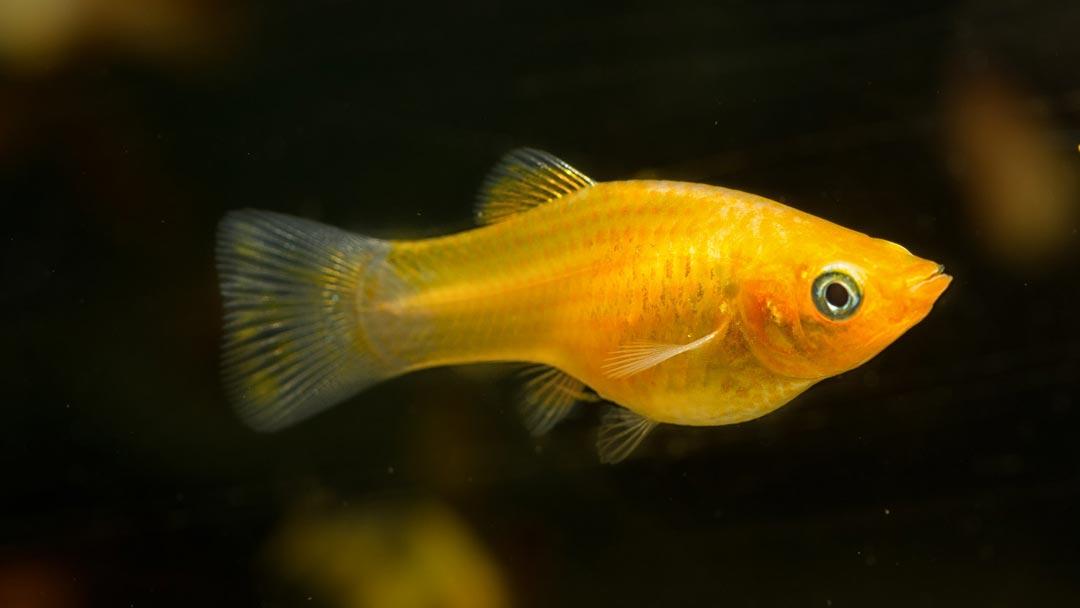 Goldmolly-Poecilia-sphenops