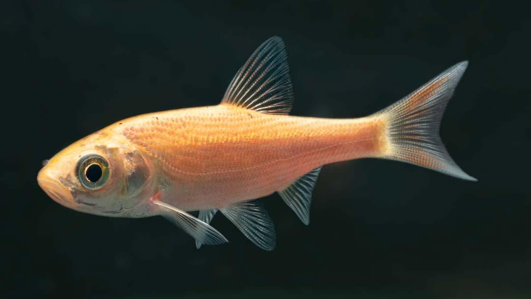 Goldorfe - Leuciscus idus
