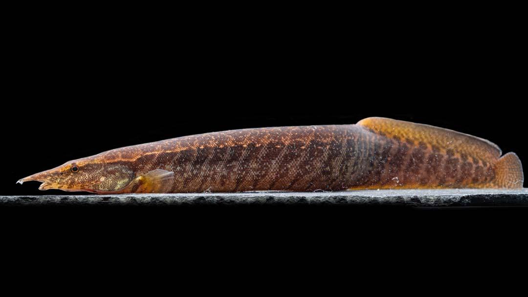 Guertelstachelaal-mastacembelus-circumcinctus