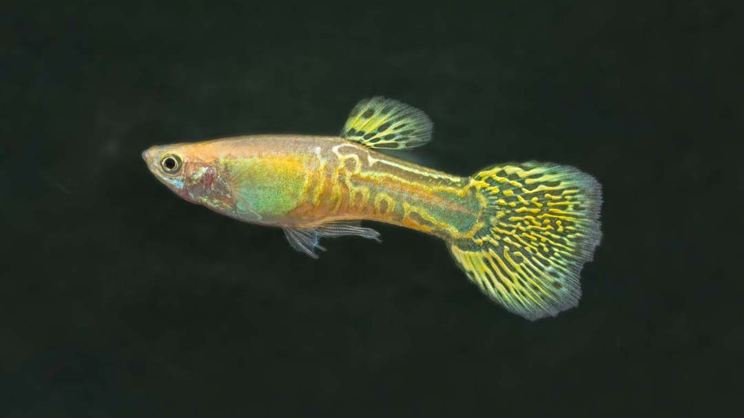 Guppy-Männchen-Cobra-Gelb-Poecilia-reticulata