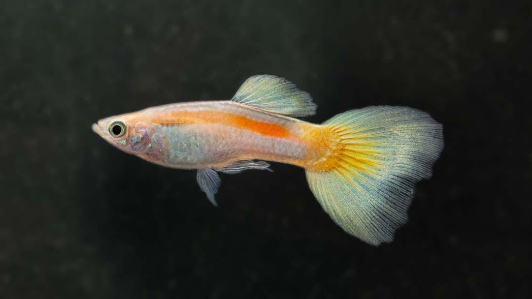 Guppy-Männchen-Neon-Gelb-Poecilia-reticulata