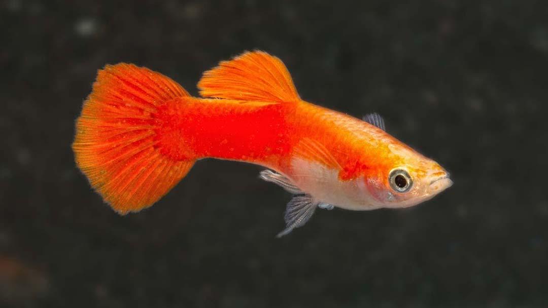 Guppy-Männchen-Neon-Rot-Poecilia-reticulata